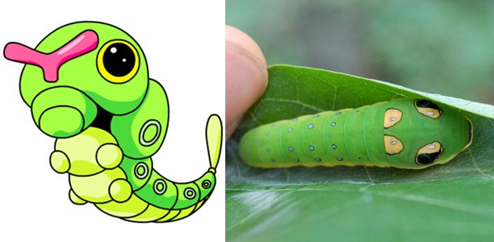 Caterpie | Oruga papilo caterpillar.