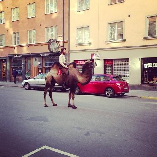 Es más barato alimentar al camello que el taxi