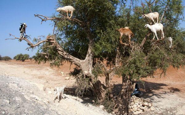 El árbol de cabras... Le llaman