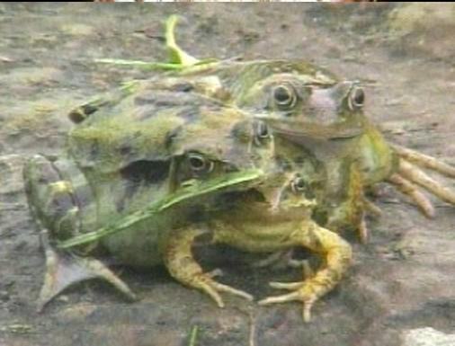 La rana con 3 cabezas
