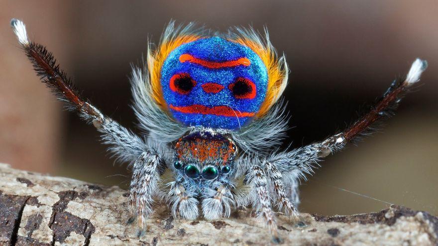 Araña Pavo Real.