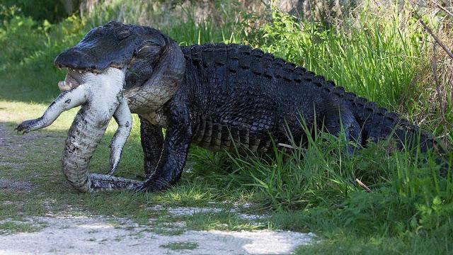 Un lindo cocodrilo caníbal en su hábitat natural ¡Que miedo!