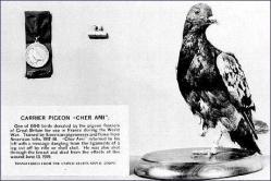 La paloma mensajera