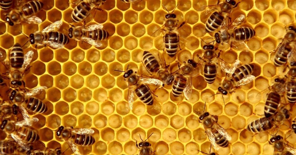 ¡Declaran a las abejas el ser vivo más importante del planeta!