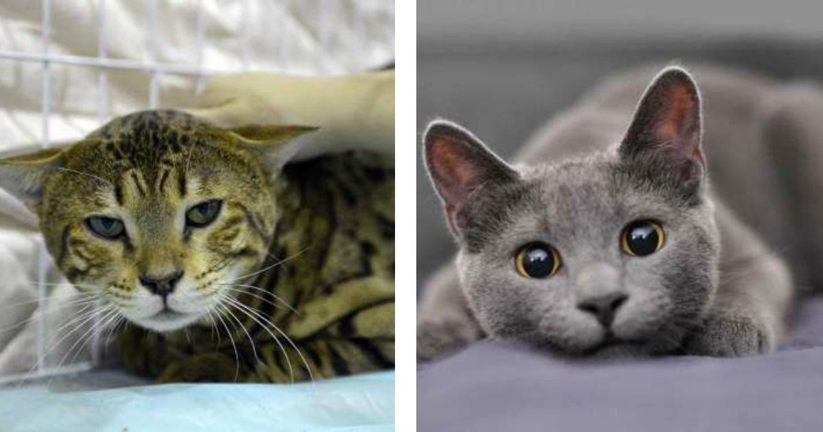 Conoce las 8 razas de gatos más caras del mundo