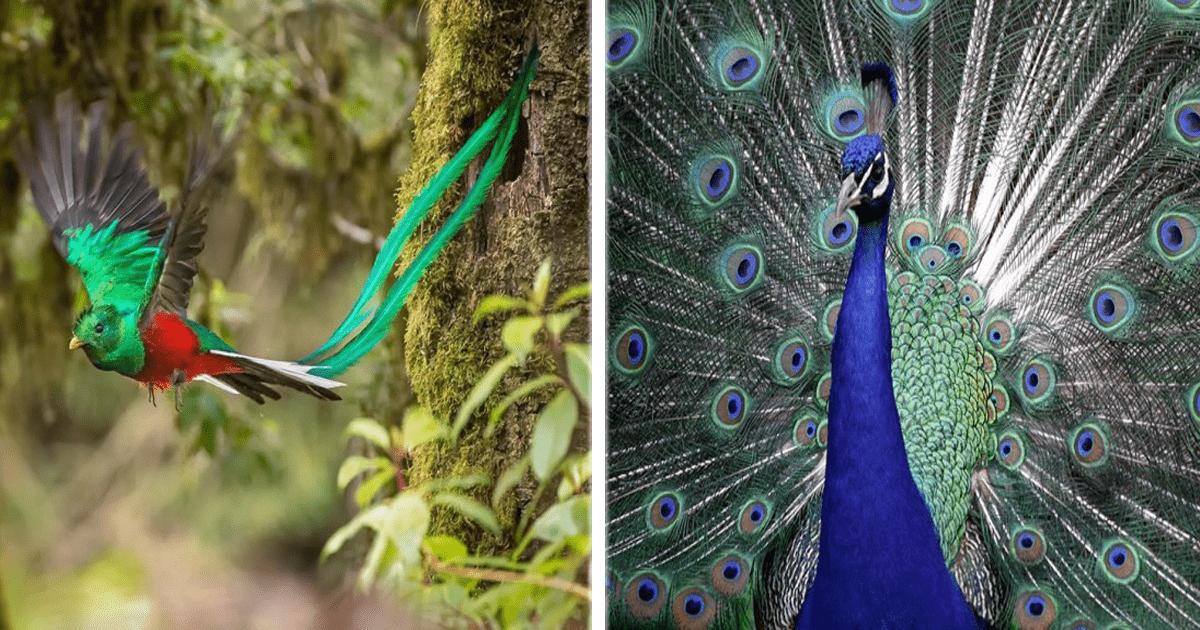 ¡Muchos quisieran tener una cola así! Aves con colas impresionantes.