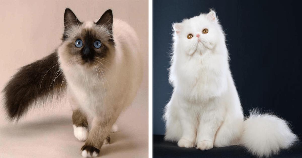 ¡Las 10 razas de gatos más populares del mundo! ¿Las conocías?